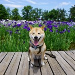 愛犬と楽しむ季節の花~東京都葛飾区 水元公園「花菖蒲園」~