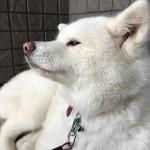 秋田犬の展覧会に遊びに行ってみよう!