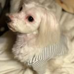 愛犬マルプーのこだわりおかっぱヘア&皮膚炎にオススメのシャンプーオプション