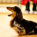 なんだかとっても「犬臭い」…それってドッグフードが原因かも?フードを見直して体臭改善!