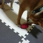 愛犬の頭を鍛える!楽しい知育玩具コングをご紹介!