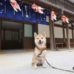 愛犬と川沿い散歩~我が家の三男坊柴犬ゴン太と東京都江戸川区「新川沿い」散歩~