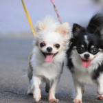 愛犬も飼い主もドキドキの散歩デビュー。一生続くものだから、嫌がらずマナーよく。