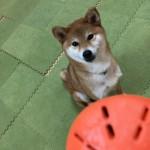 愛犬お留守番の時に活用したいおもちゃ、ビジーバディー