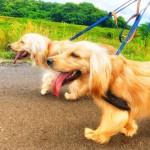 犬のお散歩☆多頭引きにオススメのリード
