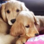 双子の姉妹犬を迎えて~同じ日に犬を多頭迎えるメリットや大変だったこと~