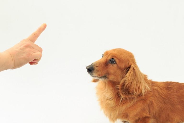 しつけ 待て 犬