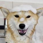愛犬を自分でシャンプー、カットできる?自宅でのトリミング体験