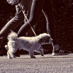 犬の散歩は危険がいっぱい。愛犬散歩中のトラブルいろいろ。
