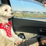 愛犬とドライブ!お出かけ前に準備しておくと安心なグッズをご紹介!