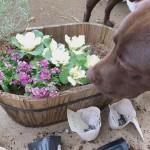 これも植えちゃダメなの!?犬に優しいガーデニングとは?