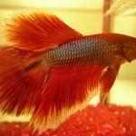 小さなスペースで飼育できる!お魚「ベタ」の魅力と生態や飼育方法について!