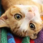 猫の顔はオスとメスとで違う?猫のオスとメスの見分け方をまとめてみました♪