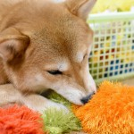 愛犬に知育おもちゃで遊ばせよう!