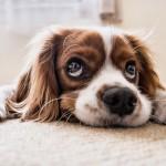 足腰の負担を軽減。愛犬に優しいフローリングマットをご紹介。