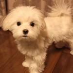 我が家の愛犬マルチーズがペット保険に入ったきっかけ☆