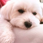 ミックス犬と雑種は違う?ミックス犬が誕生した経緯やミックス犬の魅力☆