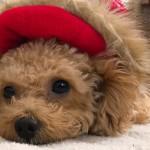 トイプードルはどんな犬?性格や特徴、可愛いすぎる愛犬あるあるネタも!