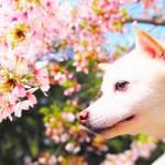 県外からもぜひ来てほしい!ワンコとのお花見におすすめスポット@静岡県浜松市