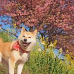 愛犬と一緒にお花見に出かけよう!