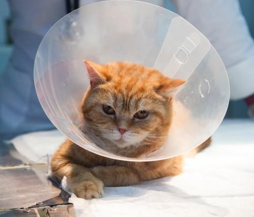 腫れ 猫 避妊手術