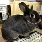 メスウサギのほぼ100%がかかるという「生殖器疾患」長く一緒にいるための避妊手術のすすめ