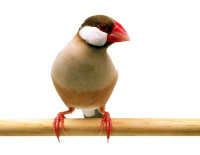 シナモン文鳥