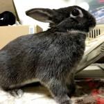 転ばぬ先の杖、ウサギを部屋んぽさせる時の環境整備のススメ◎