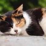 「日本猫」と「雑種猫」とは違うの?日本猫の定義について調べてみました!