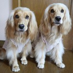 愛犬にクールエプロンを作ってみた☆作り方をご紹介します!