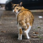 さくら猫ってどんな子?猫の不妊去勢について知っておこう