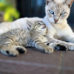 母性溢れる猫の子育て~妊娠から出産育児、親離れまでの流れ~