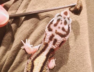 餌を食べるヒョウモントカゲモドキ Leopard gecko eating food