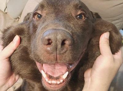 ラブラドールレトリバー Labrador Retriever