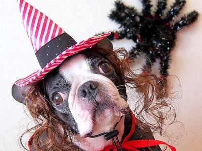 ハロウィンの仮装をした犬 A dog dressed up for Halloween