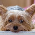 犬の分離不安とは?原因や症状、飼い主にできる対策について。