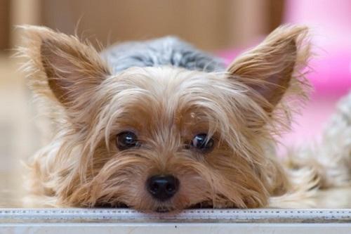 悲しそうな犬 Sad dog