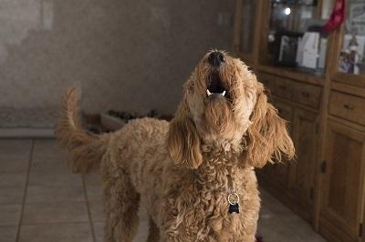 吠えている犬 Barking dog