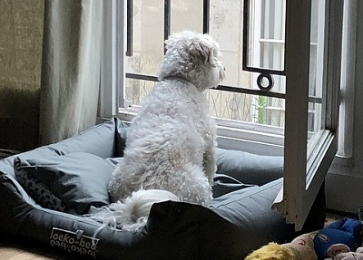 飼い主を家で待つ犬  Dog waiting for owner at home