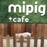 ReCheri通信 vol.23 マイクロブタのカフェ『mipig cafe』が11/8(金)原宿にオープン!