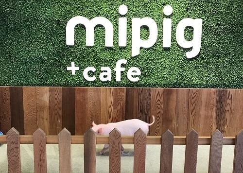 マイピッグカフェ mipig cafe