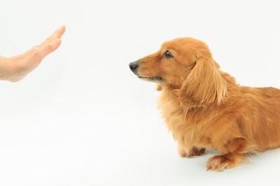 待てをする犬