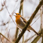 立派な芸術家!鳥はどうして鳴くの?鳴き声の秘密
