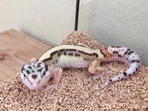 ヒョウモントカゲモドキ Leopard gecko
