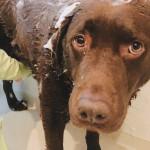 犬用シャンプーの効果と使用感、おすすめの風呂グッズ