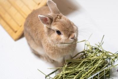 草を食べるうさぎ