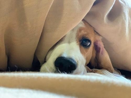 毛布に包まれる犬