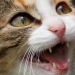 愛猫の健康に欠かせない口内ケア。ケア方法やおすすめアイテムを紹介。