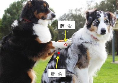 犬のツボ位置
