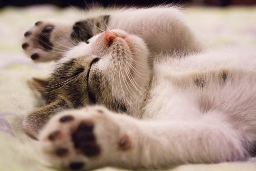 バンザイ寝する猫